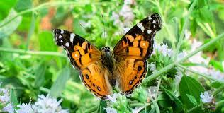 La migration des papillons : exemple de la Belle-Dame - Mister Animal